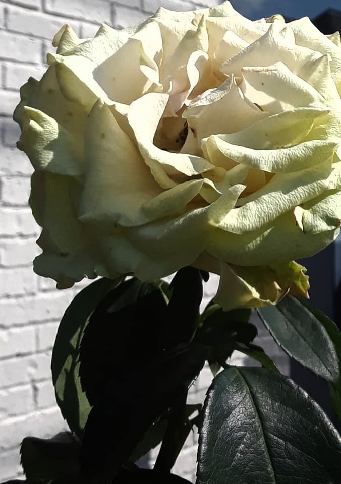 Image Caption by Photographer: I am unable to drive because of my disability and have to walk to get places. One of my favorite parts of going on walks is capturing hidden treasures that others may miss when driving. I found this beautiful white rose on one of my walks. The flower sits against the white brick of an office in Butler, PA.