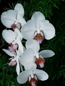 Color photograph of an orchid with white petals. The lip of the orchid is purple and yellow.